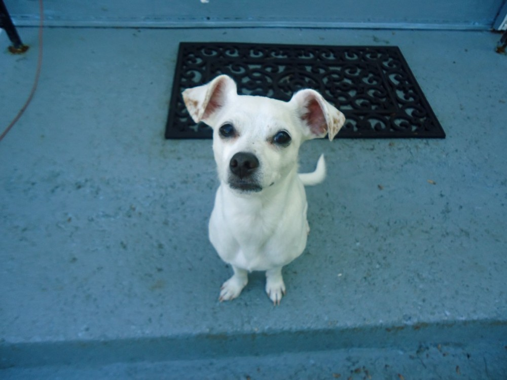 Share Your Pet Story: Chip (Chihuahua)